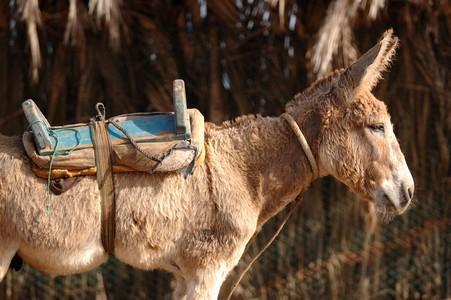 donkey asino burro